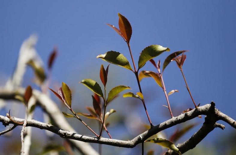 Miraa tree. (The Conversation)