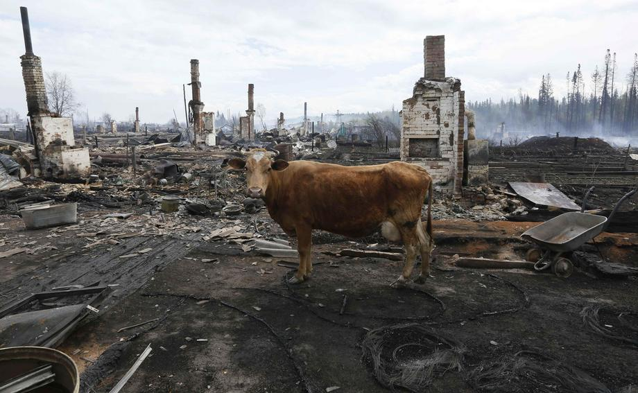 A cow stands amidst the debris of burnt houses after recent wildfires in Krasnoyarsk region