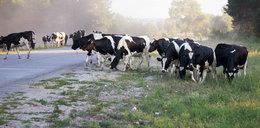 Motorowerzysta wjechał w stado krów