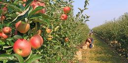 Polscy producenci owoców mająproblem. Zgniją na drzewach?