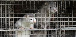 Przez koronawirusa uśmiercą 2,5 mln zwierząt