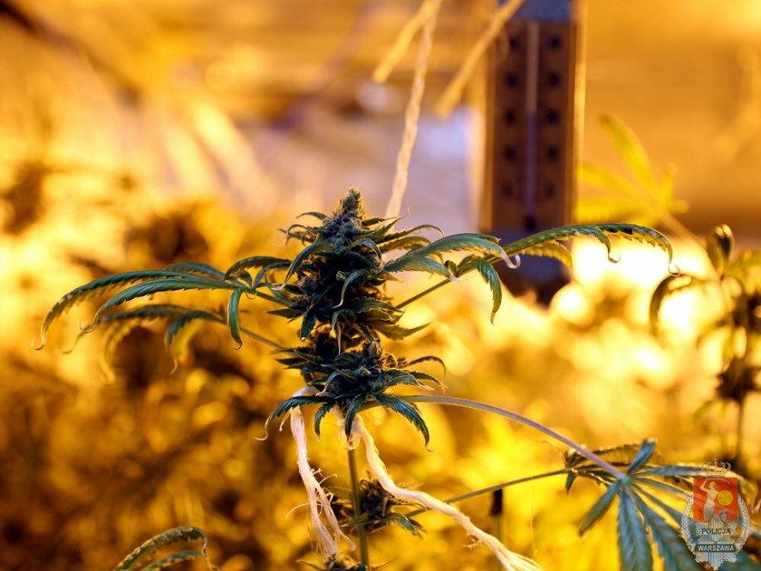 Miał plantację marihuany w mieszkaniu