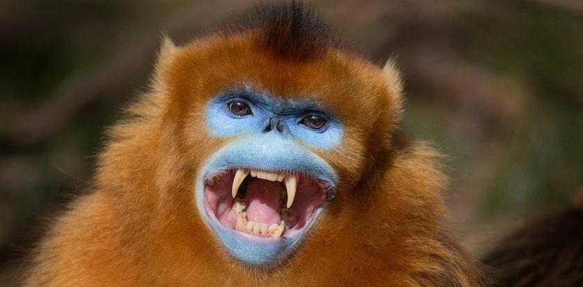 Chińczycy wpatrują się w pyski małp. Totalna małpia inwigilacja