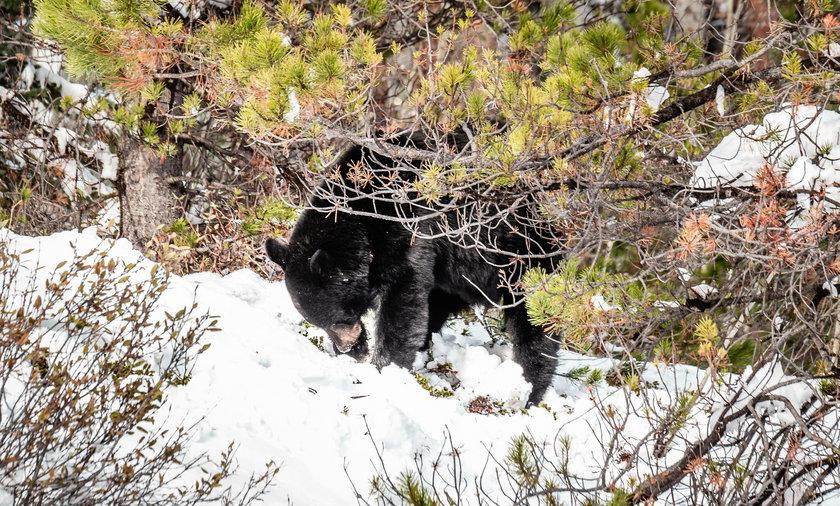 Niedźwiedź w Bieszczadach poturbował mężczyznę