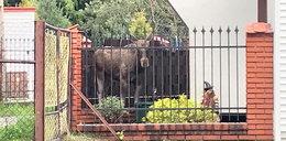 Łoś odwiedził sąsiadów