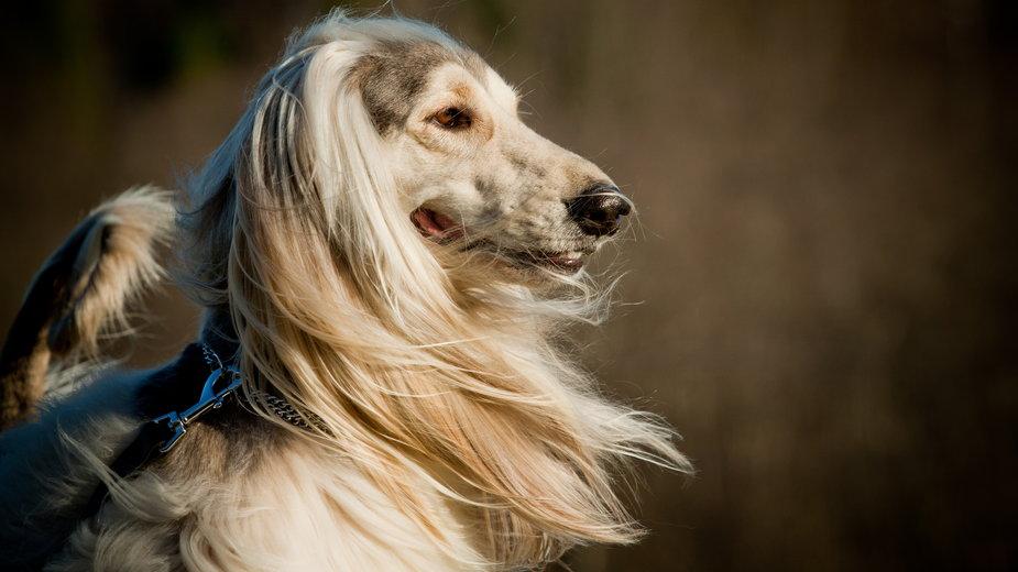 Charty to psy o bardzo efektownym wyglądzie - Mari_art/stock.adobe.com