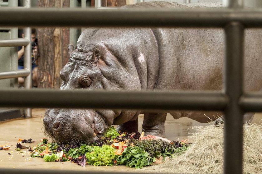 Hipolit był maskotką zoo