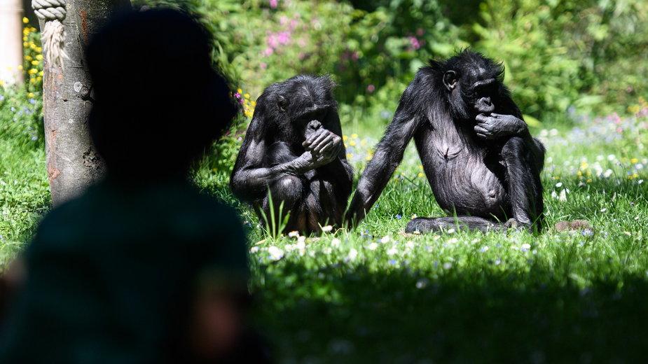 Szympansy (zdjęcie ilustracyjne)