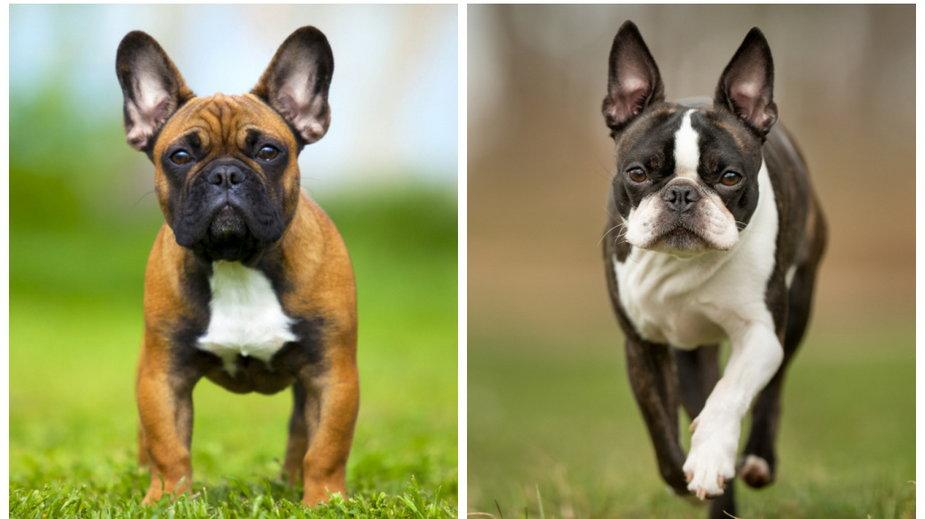 Buldog francuski i boston terrier
