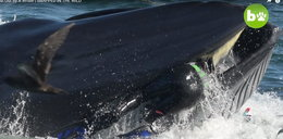 Wieloryb połknął nurka i wypluł. FILM