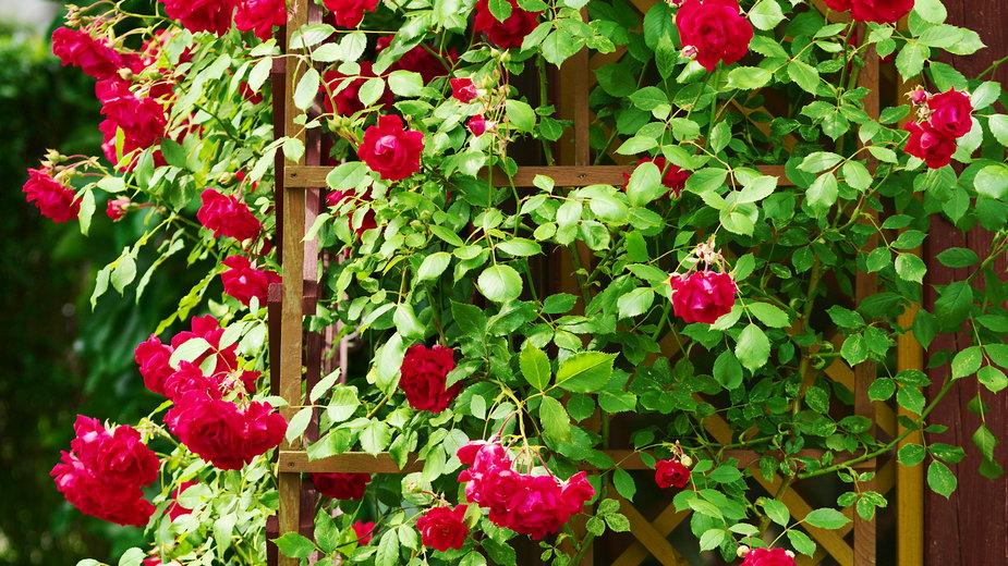 Róże pnące to piękna ozdoba każdego ogrodu - Dariusz Leszczyński/stock.adobe.com