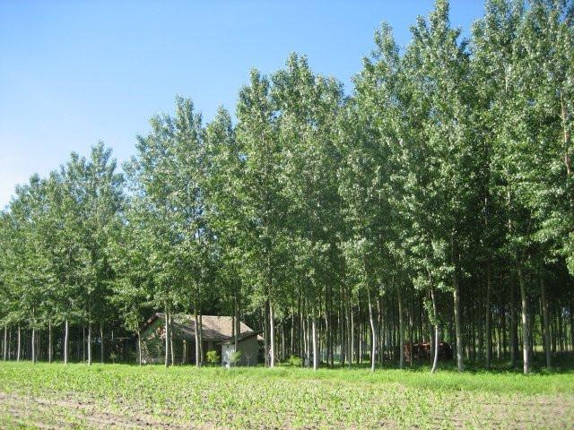 Drvoredi topole i bagrema krase salaš u Sonti