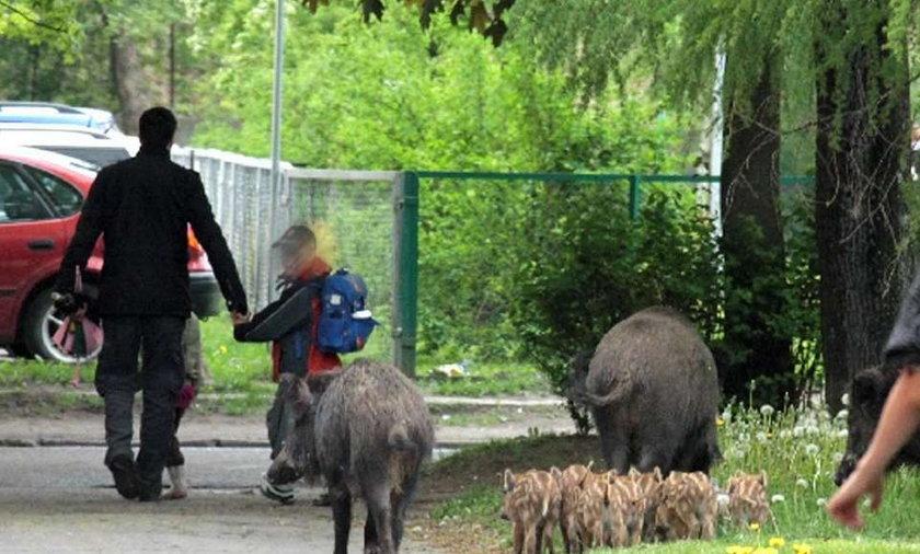 """Dziki pokazały dzieciom, jak żyją """"miastowi"""""""