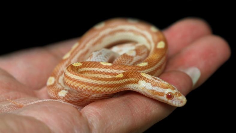 Wąż zbożowy albinos