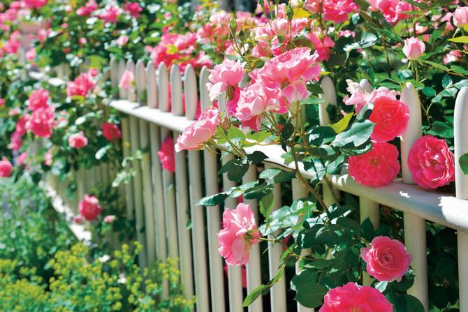 Posadite ružu u bašti ili u saksiji na terasi