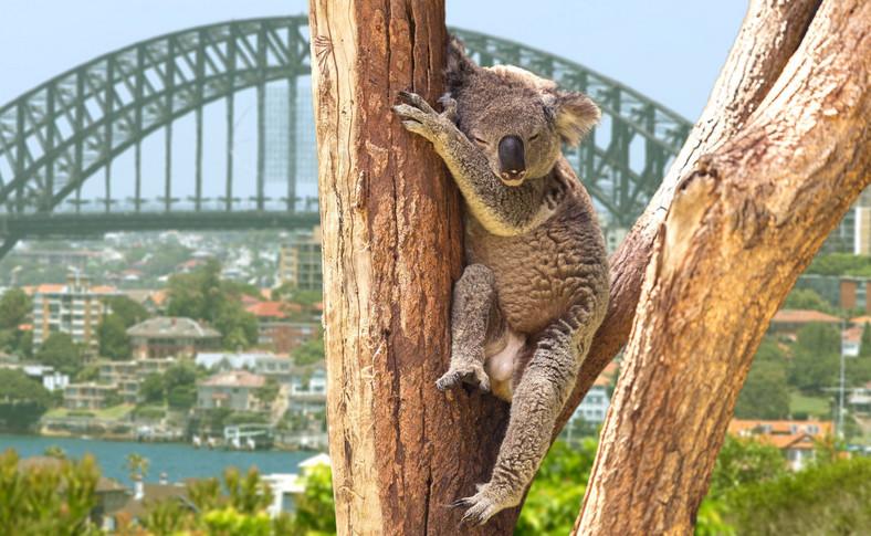 Koala na tle Sydney