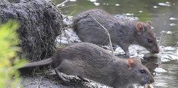 Szczury grasują w parku Arkadia