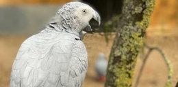 Papugi z brytyjskiego zoo obrażały zwiedzających. Teraz uczą się dobrych manier