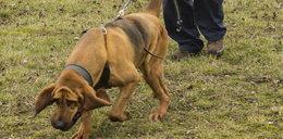Niemieckie psy szukały Ewy Tylman