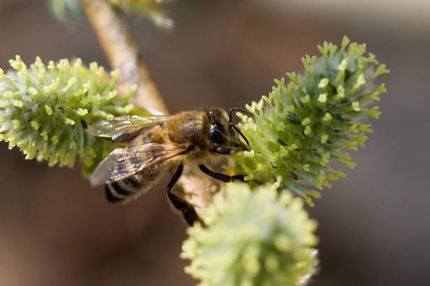 W 2003 r. w Polsce było 949 tys. rodzin pszczelich, a już w 2011 r. - ponad 1,2 mln.