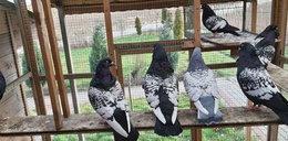 Zobacz, co oni robią z gołębi!