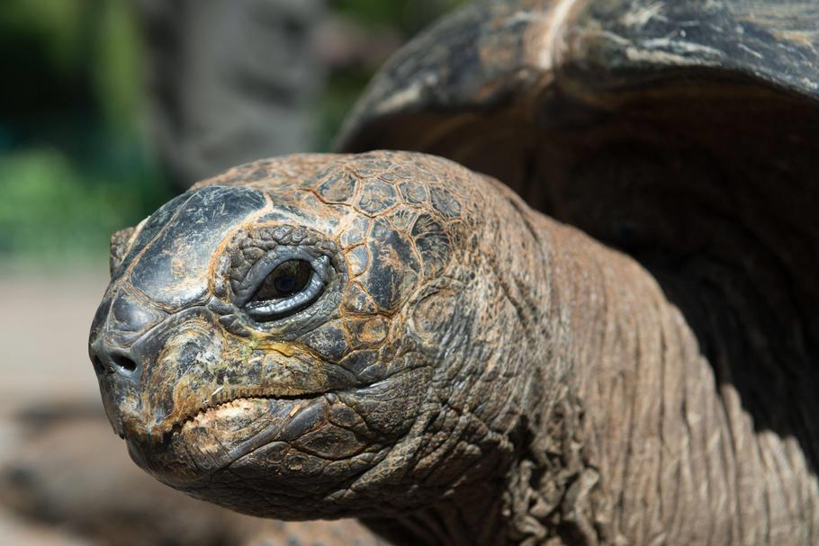 Move of the Aldabra giant tortoises