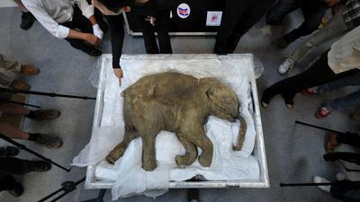Mamut z Syberii, czyli historia wskrzeszania włochatego słonia