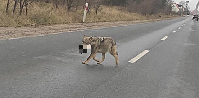 Wilk odgryzł psu głowę i niósł ją w pysku po ulicy. Leśniczy: chrońcie swoje zwierzęta