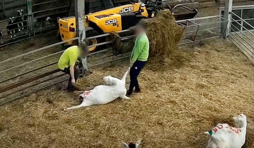 Horror w gospodarstwie rolnym