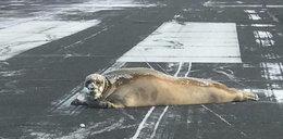 Wielka foka sparaliżowała port... lotniczy