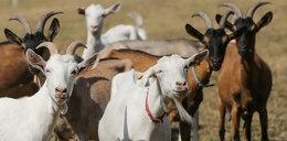 Warszawskie kozy wyzdychały przy Moście Gdańskim. Na pastucha łożył ratusz, karmiono go parówkami