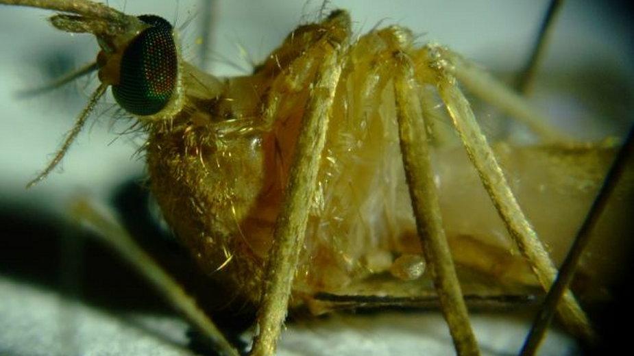 Komary są żywicielami pośrednimi
