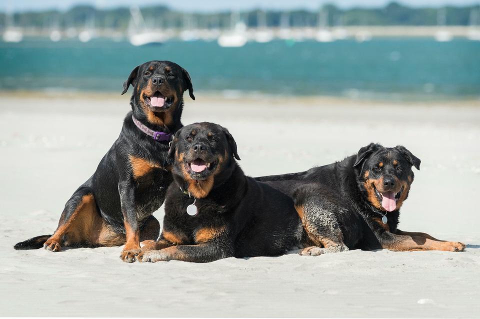 Miejsce 9: Rottweiler - pies o zdecydowanym i silnym charakterze