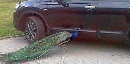 Szalony paw zniszczył mi auto!
