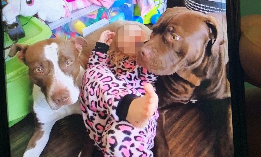 W mieszkaniu przebywały dwa psy typu pitbull. Dziecko zaatakował pies Joker (na zdjęciu z prawej).