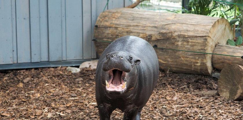 Hipcie z łódzkiego zoo na razie randkują w ciemno!