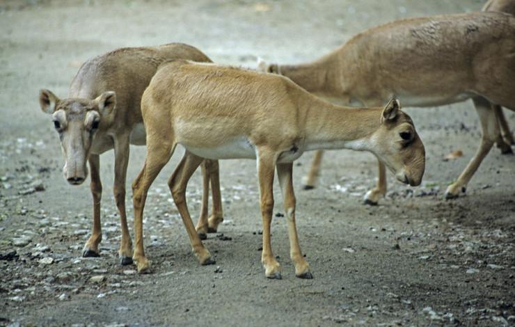 619437_sajga-antilope-foto-profimedia-2
