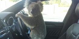 Ten koala to pirat drogowy!  Spowodował karambol