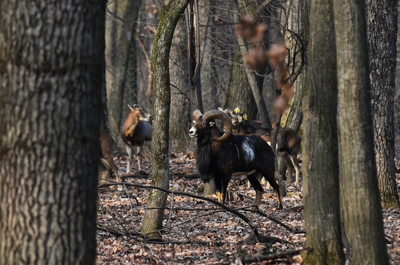 Puštanje muflona u lovište Vorovo