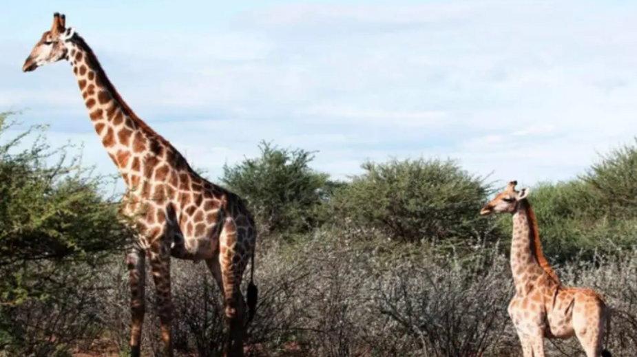 Dysplazja szkieletowa u żyraf jest rzadko spotykaną u dzikich zwierząt chorobą