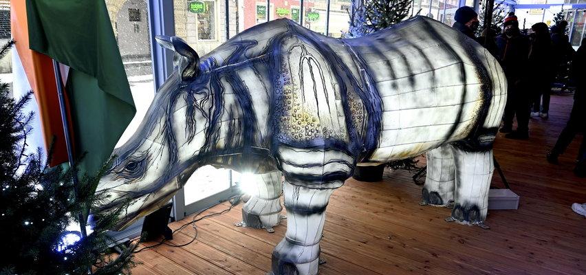 Nosorożec zbiera na słonie z wrocławskiego zoo. Błyszczy przy rynku