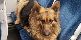 Pies, który jeździł Kolejami Śląskimi