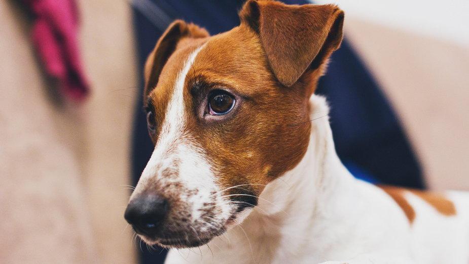Jack Russel terrier cieszy się ogromną popularnością do dziś - freestocks/unsplash.com
