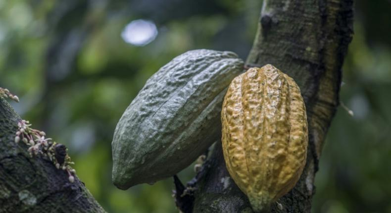 Ghana cocoa board reacts to reports that it failed to secure a buyer for its 2020/21 cocoa beans