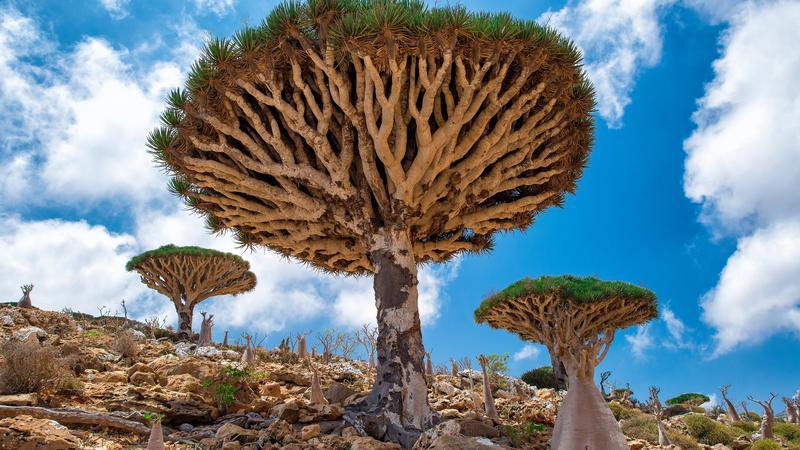 Las Smoczych Drzew, Sokotra