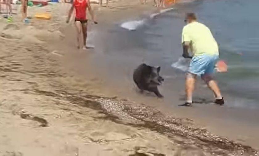 Atak dzik na turystów na plaży w niemieckim kurorcie Schoenhagen