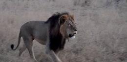 Najsławniejszy lew zabity dla kaprysu!
