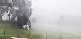 Trampolina grozy zaatakowała krowę. WIDEO