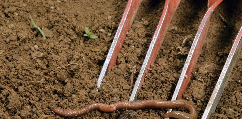 """""""Szalone robaki"""" z USA niszczą ziemię rolnikom"""