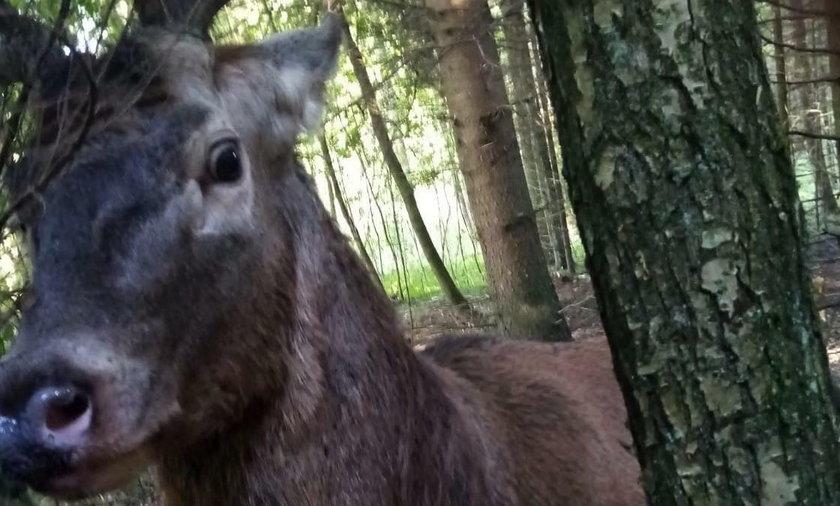 Biedny jeleń przypłacił życiem atak na grzybiarzy